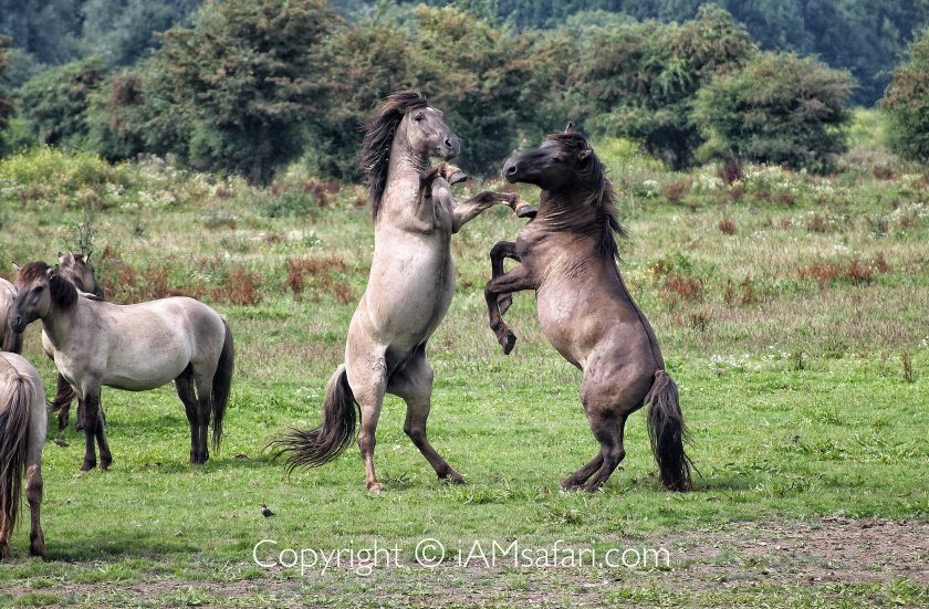 Konik horses fighting stallions