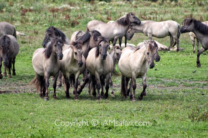 Konik horses mares foal