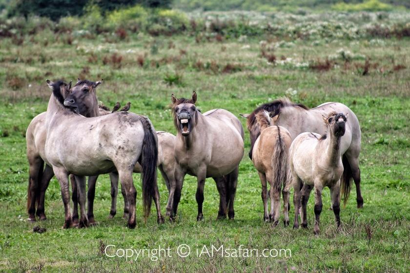 Flehmen response konik horses
