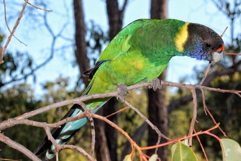 Australian 28 Ringneck Parrot Lesmurdie Falls National Park Mundy Perth Hills Western Australia
