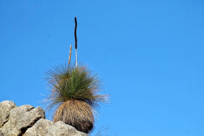 Grass Tree Balga John Forrest NP