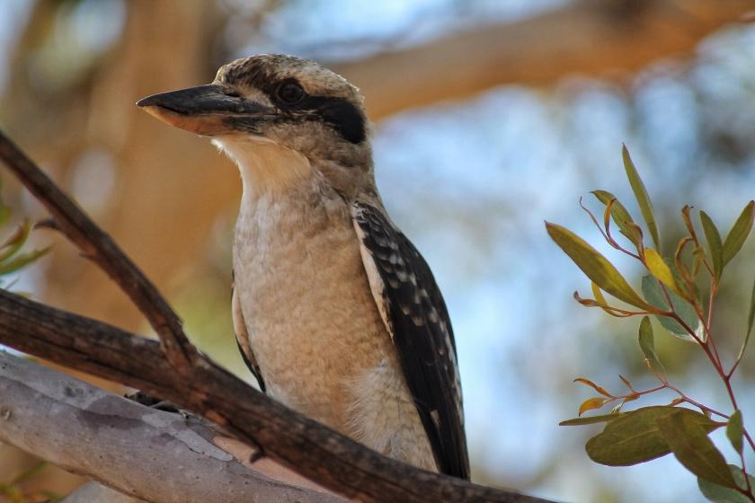 Laughing Kookaburra Western Australia
