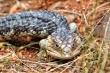 Bobtail lizard close up nm