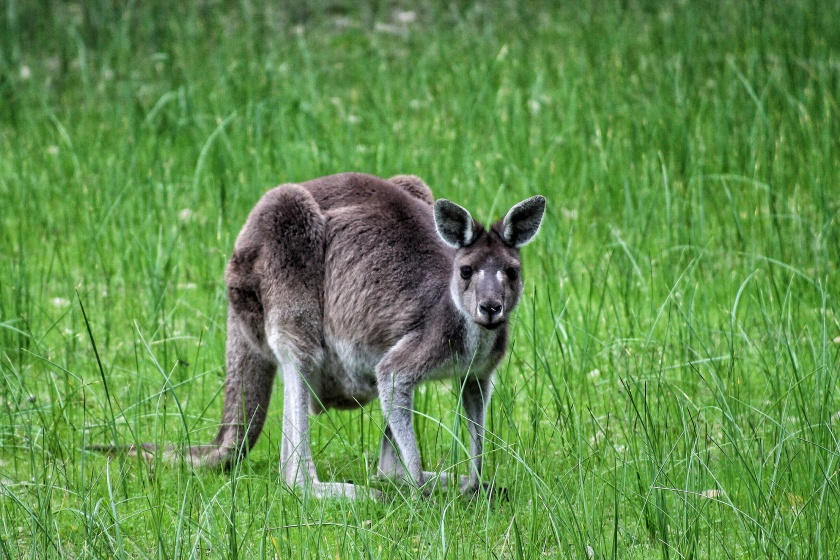 Western Grey Kangaroo Yanchep NP