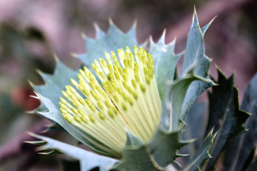 Parrot bush Banksia sessilis flowering Perth Hills Korung NP