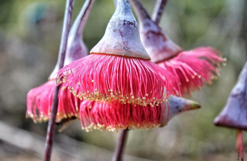 Eucalyptus caesia Silver Princess Gungurru