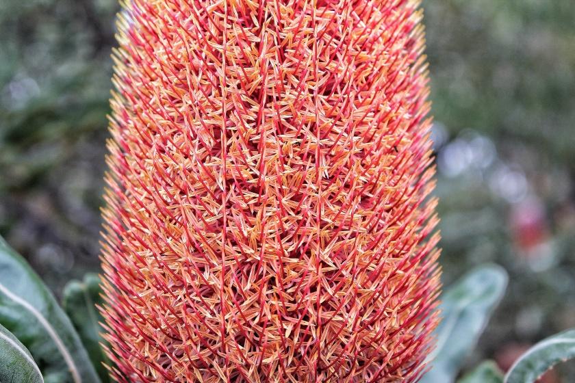 Flowering Banksia menziesii Yanchep NP