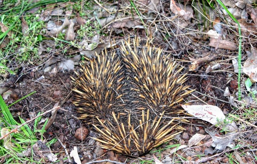 Short-beaked Echidna monotremes Lesmurdie NP