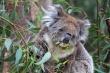 Koala Yanchep NP
