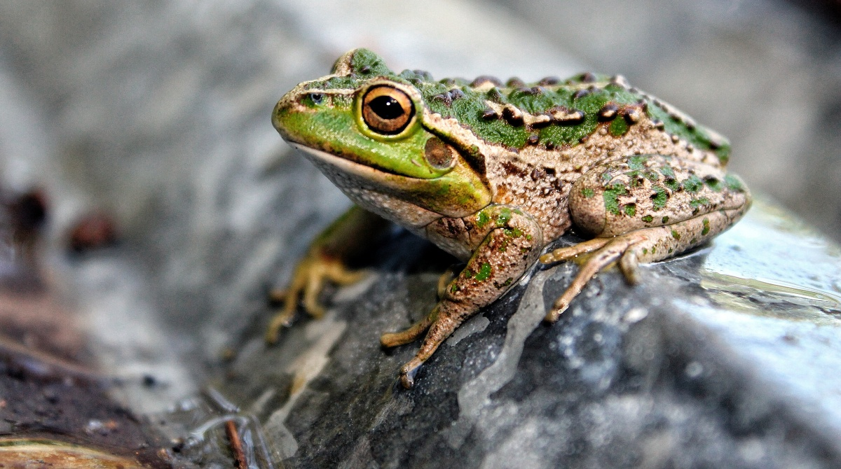 Motorbike frog Litoria moorei tree frog