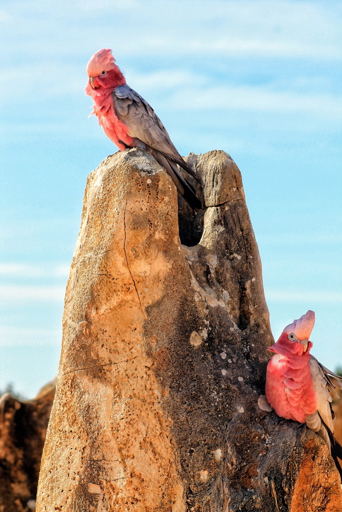 Galah Pinnacles Desert Nambung NP