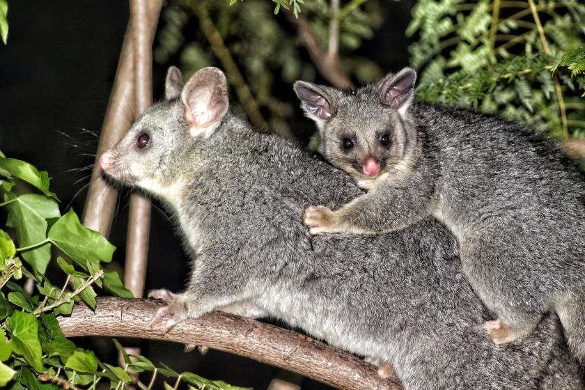 Common brush-tail possum baby