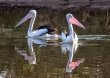 Australian pelicans Murchison River Kalbarri NP