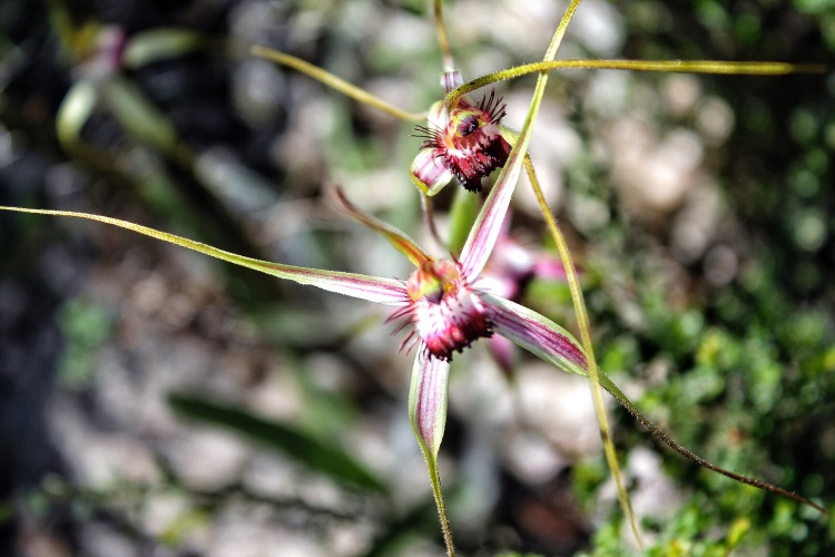 Spider Orchid Lesueur National Park