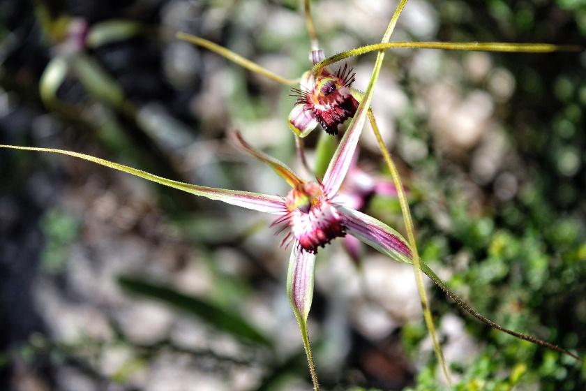 Spider Orchid Lesueur National Park