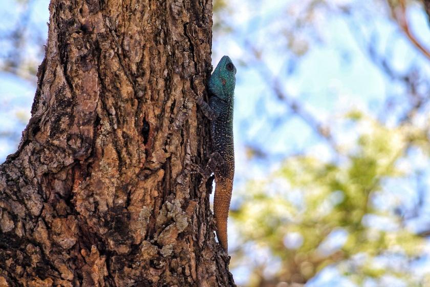 Southern Tree Agama Mpila Hluhluwe-Imfolozi