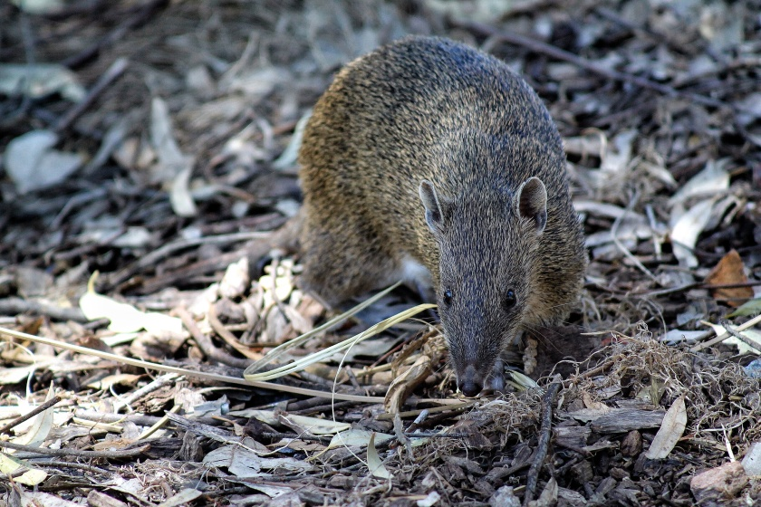 Southern Brown Bandicoot Quenda Lesmurdie Falls National Park