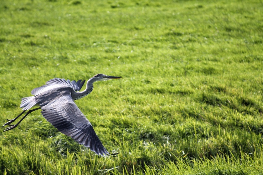 Grey Heron The Netherlands