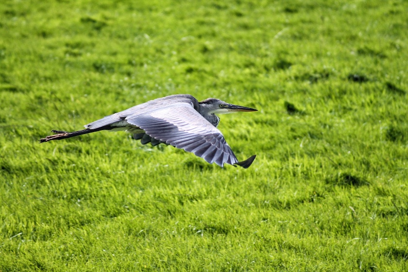 Grey Heron The Netherlands