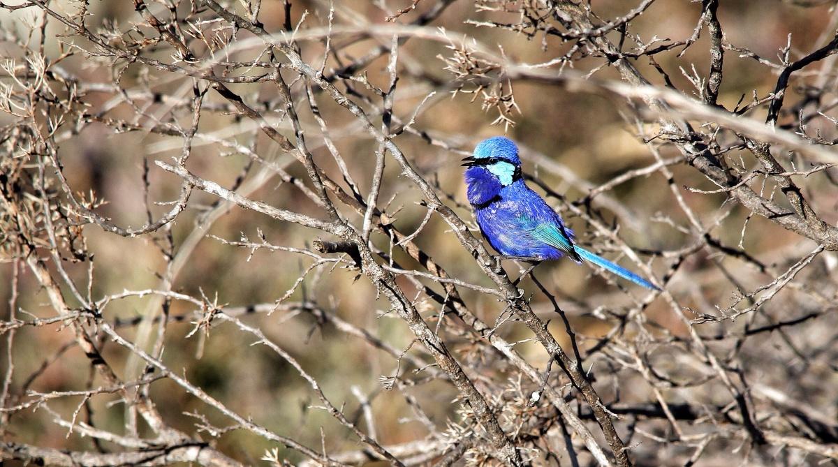 Splendid Fairy Wren Perth Hills Korung National Park