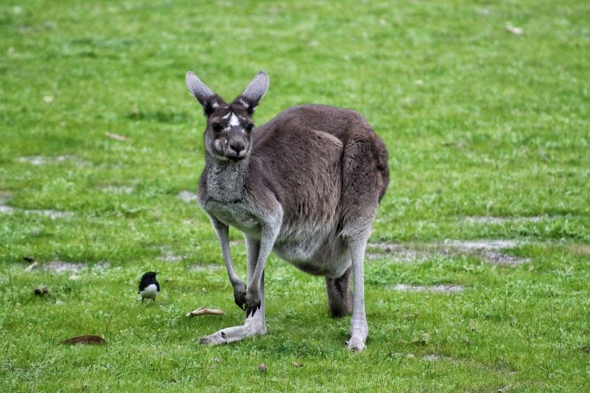 Western Grey Kangaroo Yanchep National Park