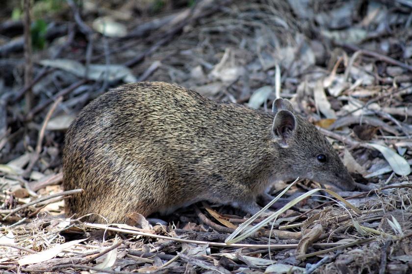 Southern Brown Bandicoot Quenda Lesmurdie NP Mundy Perth Hills