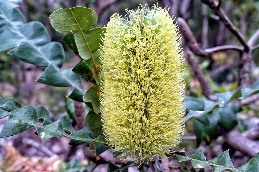 Bull Banksia Beelu NP Perth Hills Australia
