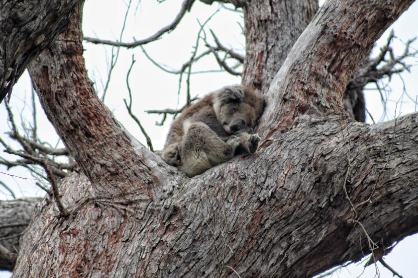 Koala Yanchep National Park Western Australia