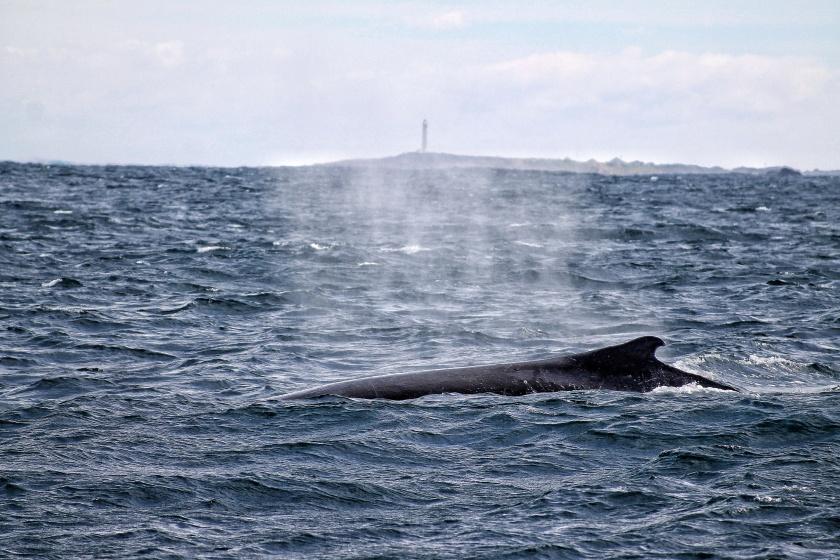 Humpback Whale Surfacing Flinders Bay Augusta Western Australia