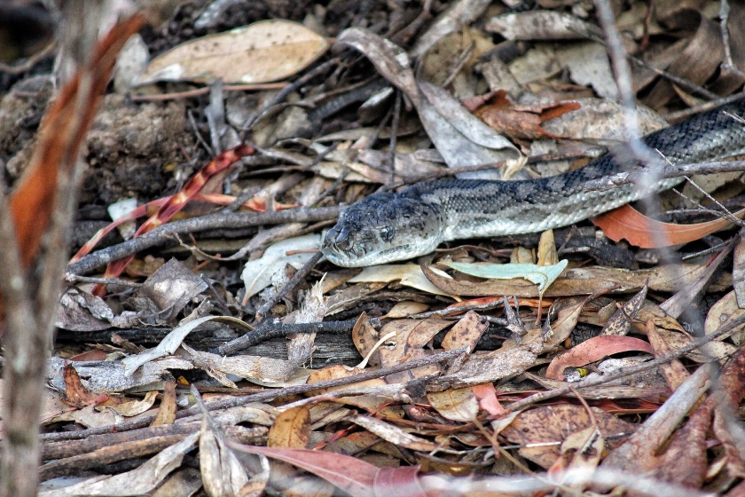 Southern Carpet Python Beelu National Park Perth Hills Western Australia