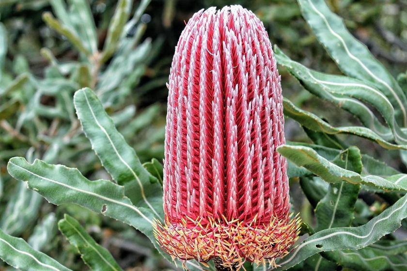 Firewood Banksia menziesii Yanchep National Park Western Australia