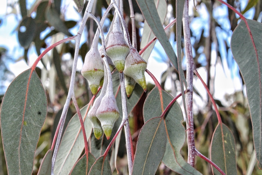 Eucalyptus caesia Silver Princess Korung National Park Perth Hills Western Australia