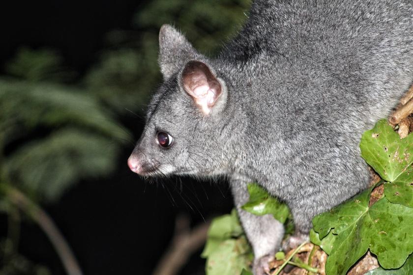 Common Brushtail Possum Lesmurdie Falls National Park Mundy Pert Hills Western Australia