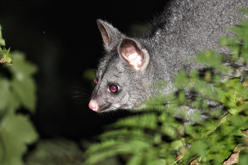 Common Brushtail Possum Lesmurdie Falls National Park Mundy Perth Hills Western Australia