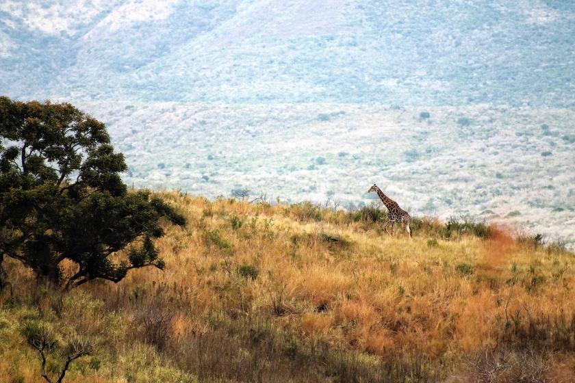 Giraffe Hluhluwe KwaZulu Natal South Africa
