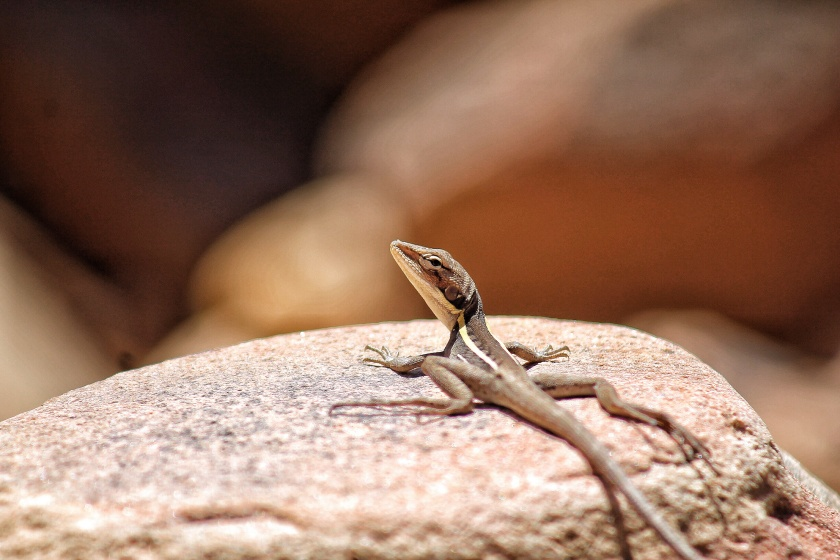 Gilbert's Dragon Ta Ta Lizard Amphibolorus gilberti Kalbarri NP