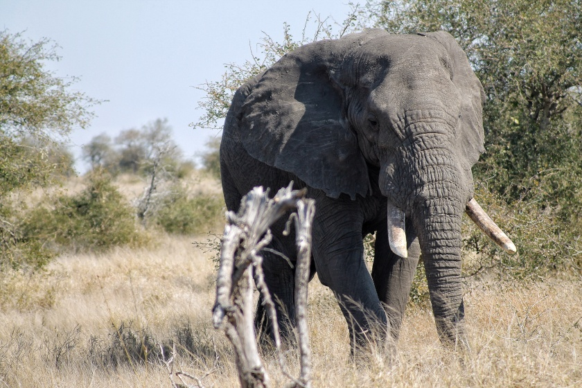 African Elephant Bull Loxodonta africana Kruger National Park South Africa