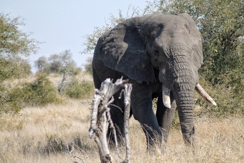 African Elephant Bull Loxodonta africana Kruger National Park South Africa