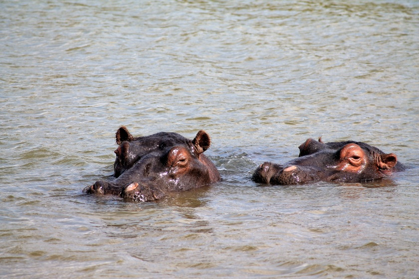 Hippopotamus iSimangaliso Wetland Park KwaZulu Natal South Africa