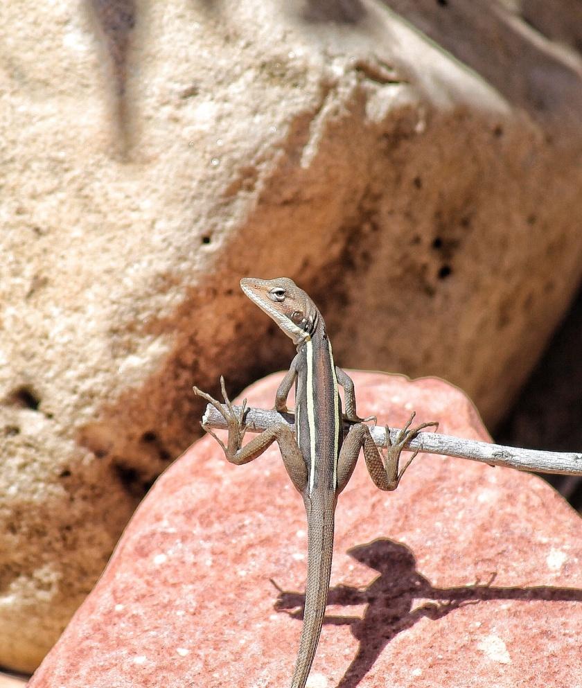 Gilbert's Dragon Ta Ta Lizard Amphibolurus gilberti Kalbarri NP