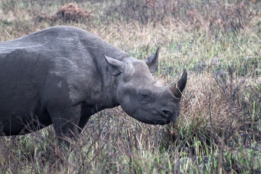 Black Rhinoceros iSimangaliso Wetland Park KwaZulu Natal South Africa