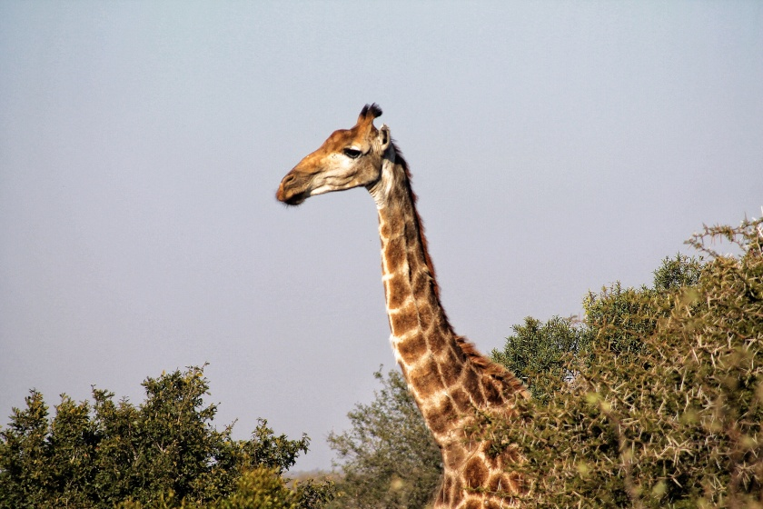 Giraffe Acacia tree Kruger National Park South Africa