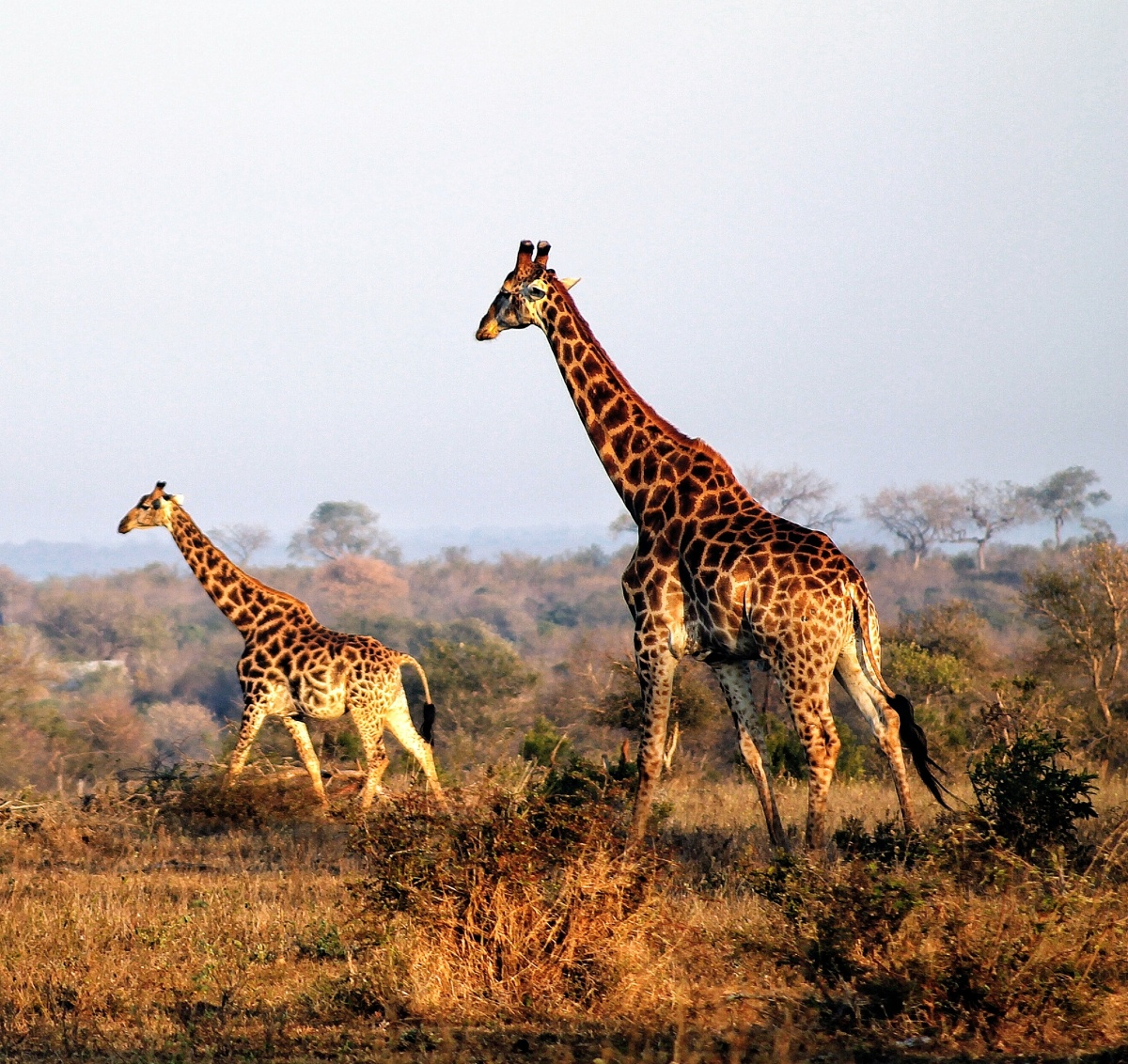 Giraffe Morning Golden Hour Kruger National Park South Africa