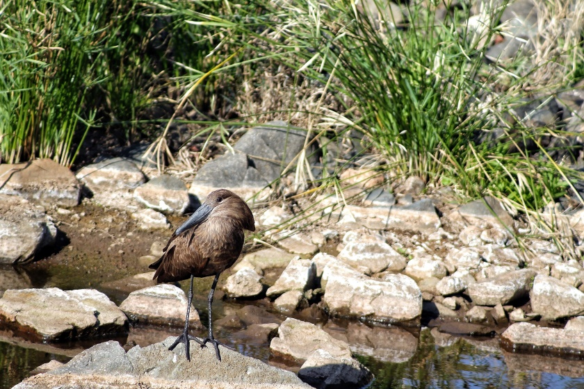 Hamerkop Kruger National Park South Africa