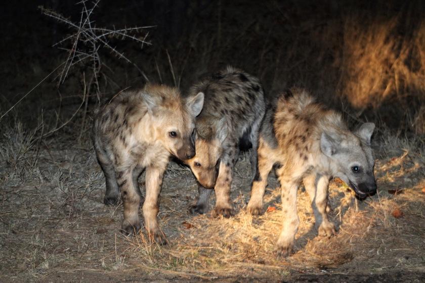 Spotted Hyena Crocuta crocuta Kruger National Park South Africa