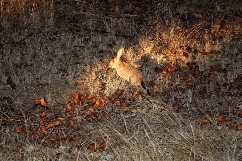 Scrub Hare Kruger National Park South Africa