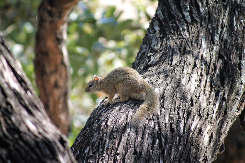 Tree Squirrel Kruger National Park South Africa