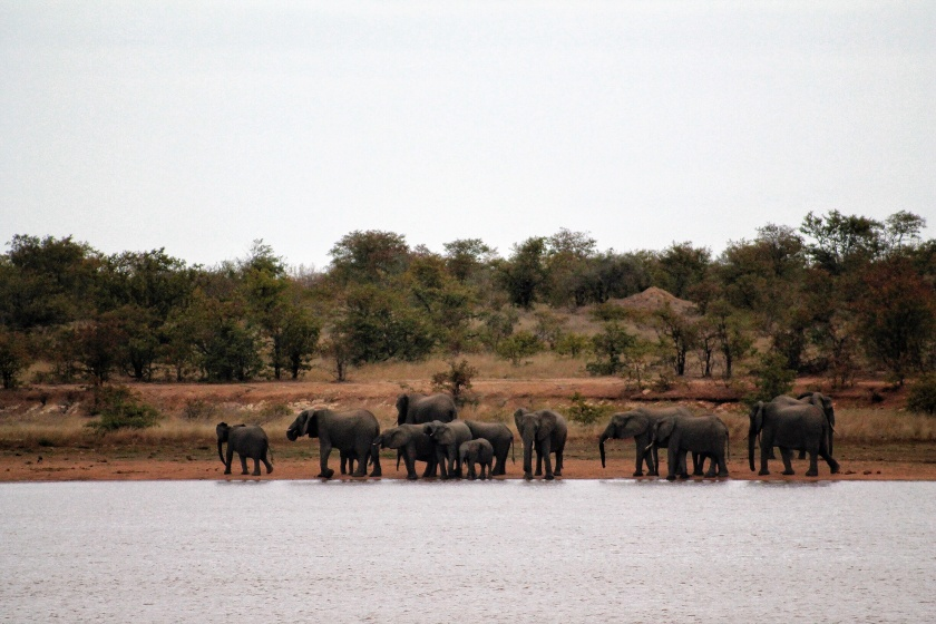 Elephants at the Sable Hide Kruger Park South Africa