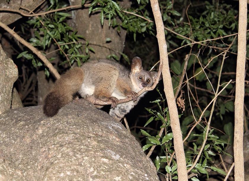 Thick-tailed Bushbaby Otolemur crassicaudatus KwaZulu Natal South Africa