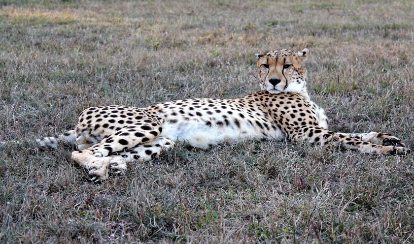 Cheetah Acinonyx jubatus KwaZulu Natal South Africa